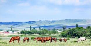 Stado arabscy konie przy paśnikiem Fotografia Stock