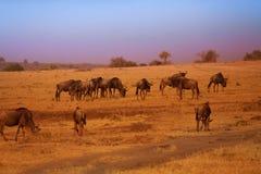 Stado błękitni wildebeests podczas Wielkiej migraci Obrazy Stock