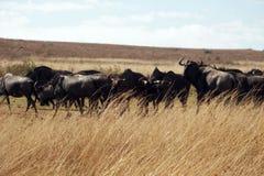 Stado błękitny wildebeest kiełznający gnu zdjęcia royalty free