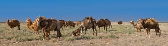 Stado Bactrian wielbłądy & x28; Camelus bactrianus& x29; Obrazy Stock