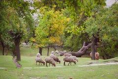 Stado barani pasanie na bujny zieleni gazonie obrazy royalty free