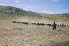 stado barani pasanie na paśniku w skalistych górach, indianin fotografia stock