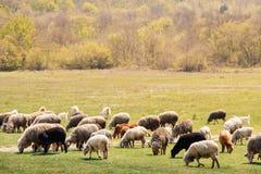 Stado barani pasanie na wiosny łące obrazy stock