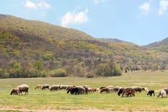 Stado barani pasanie na wiosny łące przy stopą góry obrazy stock