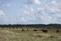 Stado bezpłatne pasmo krowy Obraz Royalty Free