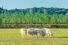 Stado biali byki pasa w zielonej łące Bourgogne krajobraz, gdy słońce pójść puszek Francja, Burgundy zdjęcie stock