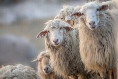 Stado biali sheeps Fotografia Royalty Free