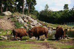 Stado bizon Fotografia Royalty Free