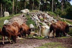 Stado bizon Obraz Royalty Free
