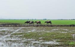 Stado bizon zdjęcia stock