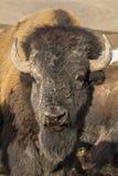 Stado bizon Obrazy Stock