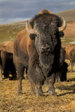 Stado bizon Zdjęcie Royalty Free