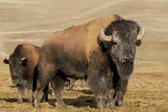 Stado bizon fotografia stock