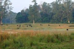 Stado bizony w kraj stronie w Nepal zdjęcia stock