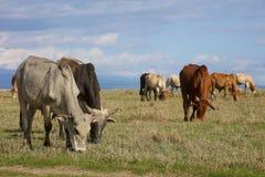 Stado boranu bydła pasanie fotografia royalty free