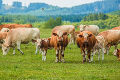 Stado brudne łydki i krowy biali i brąz fotografia stock