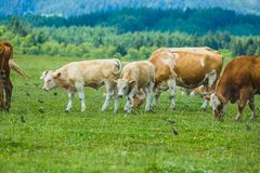 Stado brudne łydki w paśniku i krowy biali i brąz obrazy royalty free