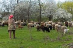 Stado cakle i barany iść na wiejskiej drodze wypasać dla jeść trawy na łące obraz royalty free