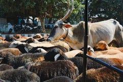 Stado cakle i krowy na Hampi ` s ulicie, India zdjęcia royalty free