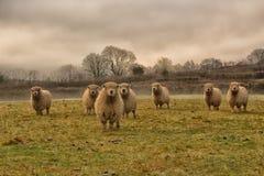 Stado cakle w polu na Dartmoor wszystko przyglądającym ten sam kierunek obraz stock