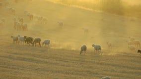 Stado cakle w Zakurzonym Andaluzyjskim krajobrazie zbiory