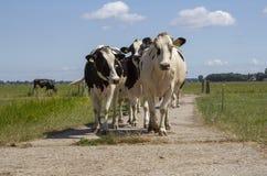 Stado czarny i biały krów chodzić obrazy royalty free