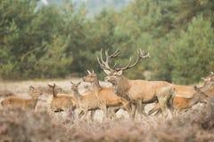 Stado czerwony rogacz z jeden jeleń samiec na przodzie w heatherland obrazy royalty free