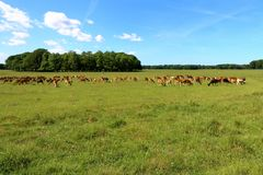 Stado deers Obrazy Royalty Free