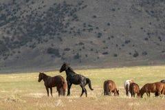 Stado Dzicy konie w lecie Obrazy Stock
