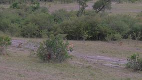 Stado Dzicy lwy Z Cubs Out W krzakach Afrykańska sawanna 4K zdjęcie wideo