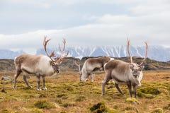 Stado dziki Arktyczny renifer w naturalnym środowisku Fotografia Stock