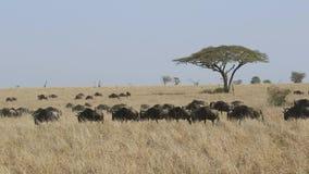 Stado dziki gęsi odprowadzenie wśród wysokiej suchej trawy w Serengeti sawannie w porze suchej zbiory