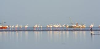 Stado flamingi przy plażą Obraz Stock