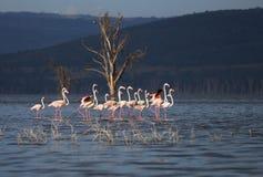 Stado flamingi w Jeziornym Nakuru Kenja Zdjęcie Royalty Free