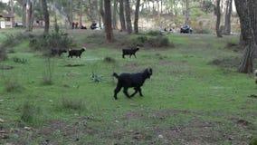 Stado halne kózki pasa w łące na zielonej trawie zdjęcie wideo