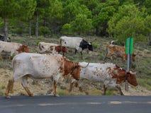 Stado hiszpańscy byki na wiejskiej drodze iść z powrotem uprawiać ziemię 02 Obrazy Stock