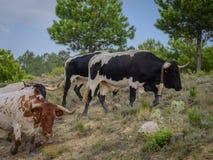 Stado hiszpańscy byki na wiejskiej drodze iść z powrotem uprawiać ziemię 01 Zdjęcia Royalty Free