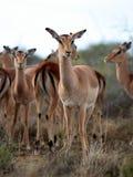 Stado impala antylopa od Południowa Afryka Obraz Royalty Free