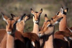 Stado impala antylopa od Południowa Afryka Zdjęcia Royalty Free