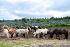 Stado Islandzcy konie Fotografia Royalty Free
