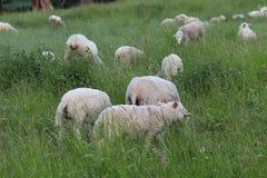 Stado jasny cakla kolor pasa w łące z wysoką zieloną luksusową trawą Paśnik gospodarstwo rolne z budową i drzewami industr Zdjęcia Royalty Free
