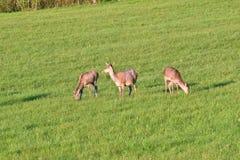 Stado jeleni pasanie na łące Zdjęcie Stock