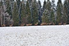 Stado jelenia i jelenia deers ogląda na horizont w śnieżnego bielu lesie w zimie Zdjęcie Stock
