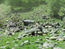 Stado kózki i cakle w Himachal Pradesh zdjęcie royalty free