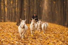 Stado kózki w jesień lesie Obrazy Royalty Free
