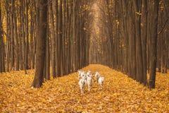 Stado kózki w lesie Fotografia Royalty Free