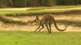 Stado kangury podskakuje na polu golfowym zbiory