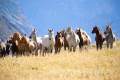 stado konie Zdjęcie Royalty Free