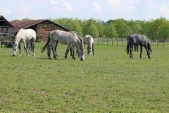 Stado konie Zdjęcia Stock