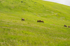 Stado konie Obraz Royalty Free